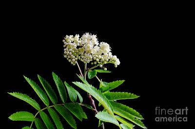Photograph - Blossom Rowan Branch At Black Background by Kennerth and Birgitta Kullman