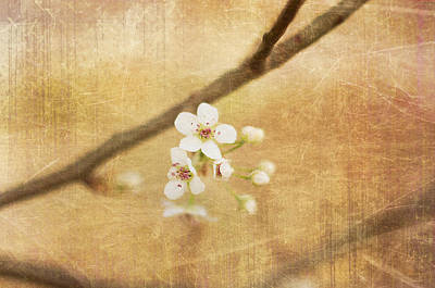 Photograph - Blossom by Sofia Walker