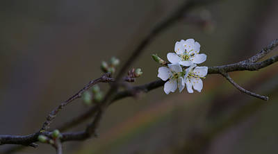 Photograph - Blossom Trio by Roger Mullenhour