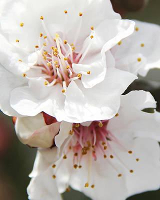 Photograph - Blossoming Apricot by Masha Batkova