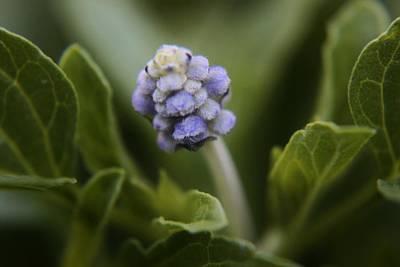 Blossoming Blue Art Print by Carol Welsh