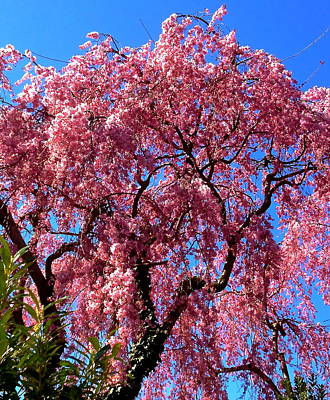 Photograph - Blossoming Cherry Tree by Jeff Gater
