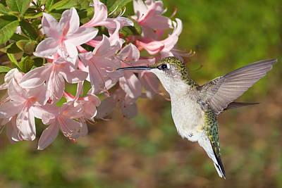 Photograph - Blossoming Hummingbird by Leda Robertson