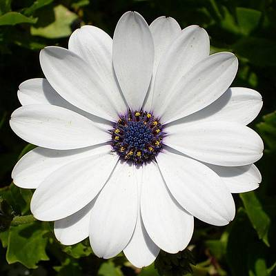 Go For Gold - Blossoming White Osteospermum by Taiche Acrylic Art