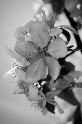 Photograph - Blossoms 2013 Monochrome by Beth Akerman