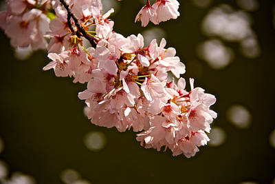 Photograph - Blossoms And Petals by Kathi Isserman
