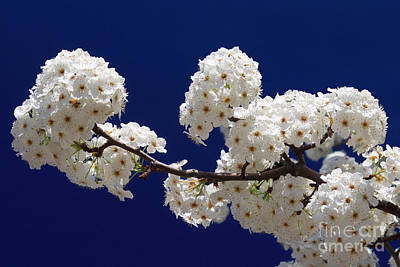 Photograph - Blossoms In Blue by James Eddy