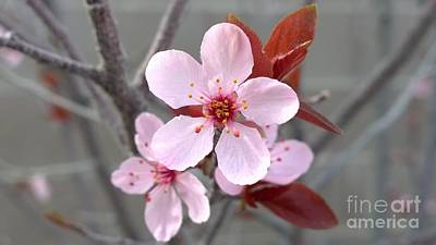 Photograph - Blossoms Of The Japanese Plum Tree In Las Vegas Nevada 1 by Jennifer E Doll
