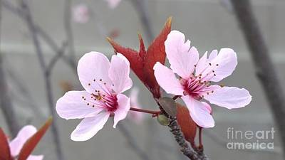 Photograph - Blossoms Of The Japanese Plum Tree In Las Vegas Nevada 2 by Jennifer E Doll