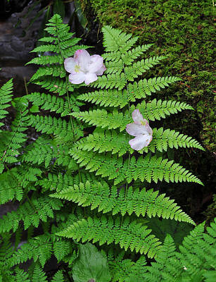 Photograph - Blossoms On Fern by Alan Lenk