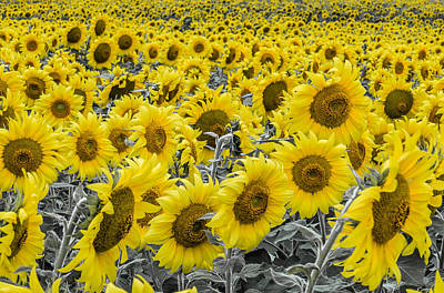 Blossoms Only Sunflowers Art Print by Thomas Pettengill