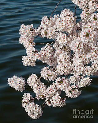 Photograph - Blossoms Over Water by Dale Nelson