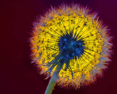 Photograph - Blowball by Vladimir Kholostykh