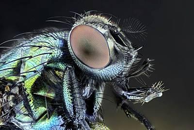 Blowfly Art Print by Frank Fox