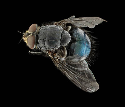 Blowfly Art Print