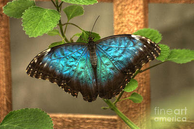 Photograph - Blue And Black Butterfly by Jeremy Hayden