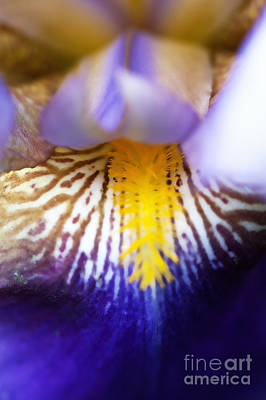 Photograph - Blue And Bronze Iris Abstract by Lee Craig