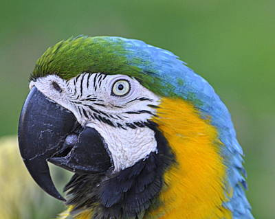 Photograph - Blue And Gold Macaw by AJ  Schibig