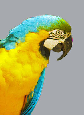 Photograph - Blue And Gold Macaw by Bill Barber