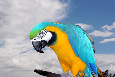 Photograph - Blue And Gold Macaw by David Rich