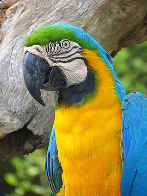 Photograph - Blue And Gold Macaw by Ramona Johnston