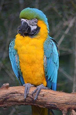 Photograph - Blue And Gold Macaw by Richard Bryce and Family
