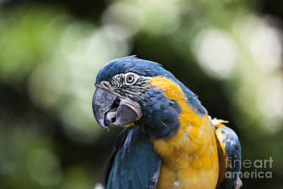 Macaw Photograph - Blue And Gold Macaw V5 by Douglas Barnard