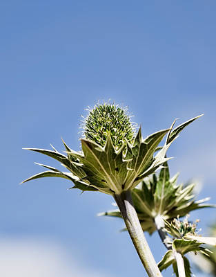 Photograph - Blue And Green  Green Plant In Front Of A Blue Sky by Leif Sohlman