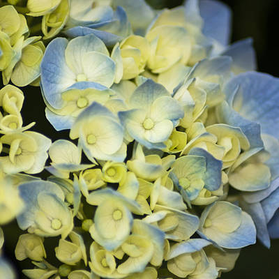 Bath Time - Blue and White Hydrangea by Dennis Coates