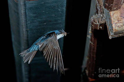 Swallow Photograph - Blue And White Swallow by Anthony Mercieca