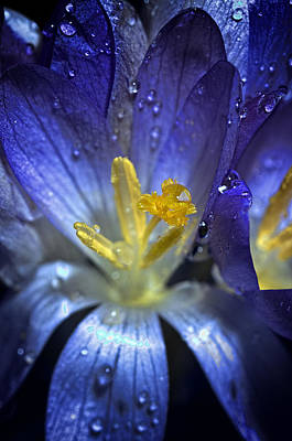 Photograph - Blue And Yellow Flower by Henrik Petersen