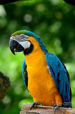Photograph - Blue And Yellow Gold Macaw Parrot by Imran Ahmed
