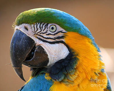 Print featuring the photograph Blue And Yellow Macaw by Bob and Jan Shriner
