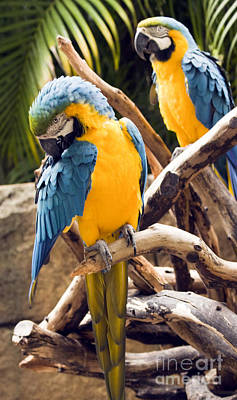 Blue And Yellow Macaw Pair Art Print