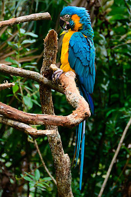 Photograph - Blue And Yellow Macaw by Penny Lisowski