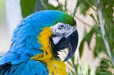 Blue And Yellow Macaw Art Print by William H. Mullins