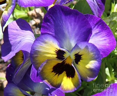 Blue And Yellow Pansies Art Print by Cathy Lindsey