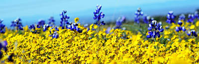 Blue And Yellow Wildflowers Art Print by Holly Blunkall