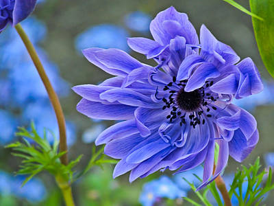 Blue Anemone Flower Blowing In The Wind Art Print