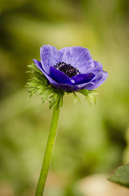 Photograph - Blue Anemone by Spikey Mouse Photography