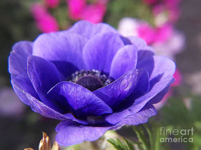 Photograph - Blue Anemone by Sue Andrus