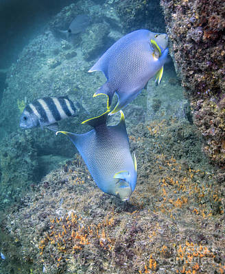 Animals Photos - Blue Angelfish Feeding On Coral by Michael Wood