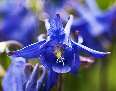 Photograph - Blue Aquilegia by Ron Roberts