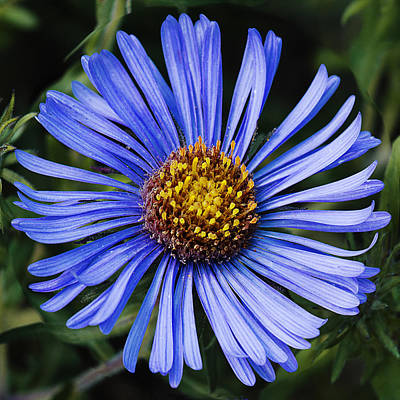 Designs In Nature Photograph - Blue Aster Flower Head by Donald  Erickson