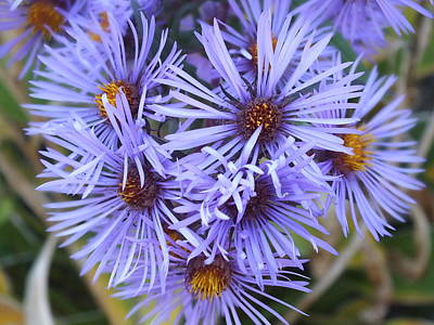 Photograph - Blue Aster by Gene Cyr