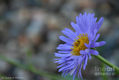 Photograph - Blue Aster by Susan Herber