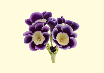 Photograph - Blue Auricula On A Cream Background by Paul Gulliver