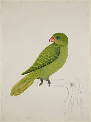 Illustration Technique Photograph - Blue-backed Parrot by British Library
