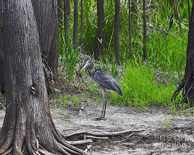 Gray Heron Photograph - Blue Bags Bream by Al Powell Photography USA