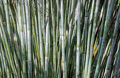 Photograph - Blue Bamboo Db by Rich Franco